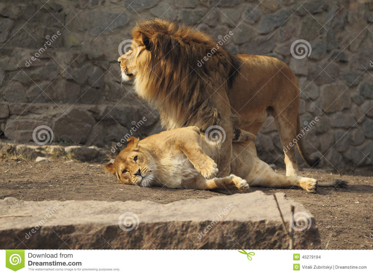 Cute Lions Family Stock Photo Image 45279194