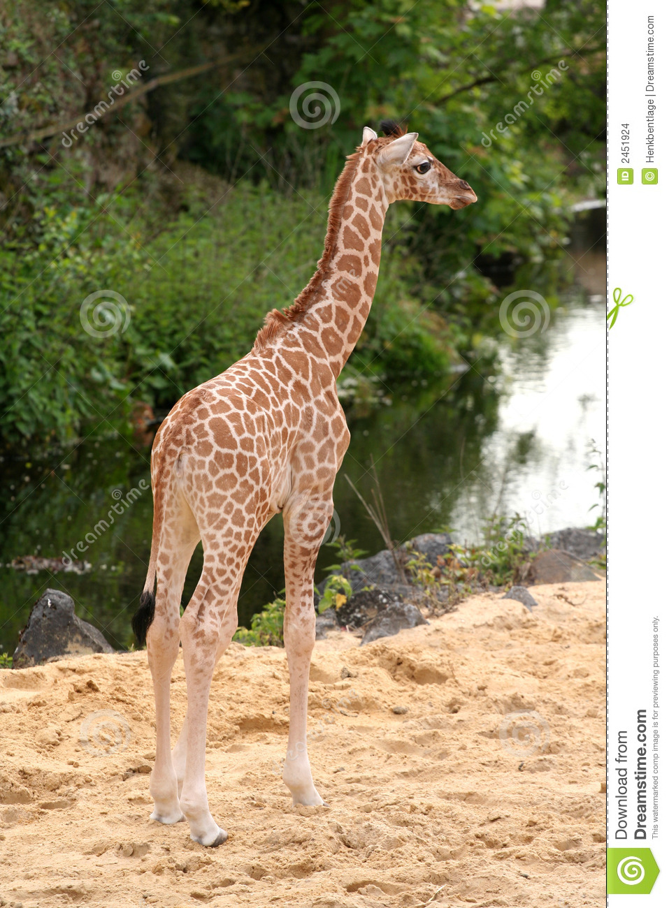 Cute Little Baby Giraffe Stock Images - Image: 2451924