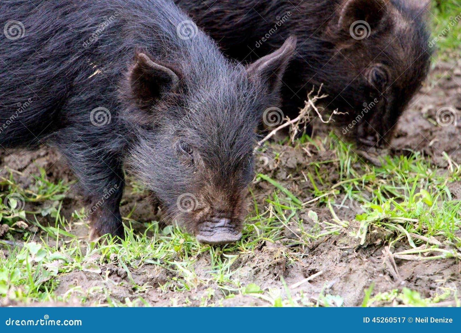 Cute Little baby piglets