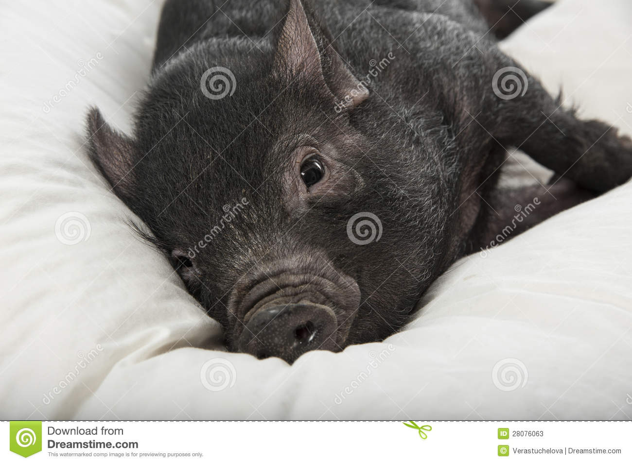 A Cute Little Black Pig Stock Image Image Of Meat Pink