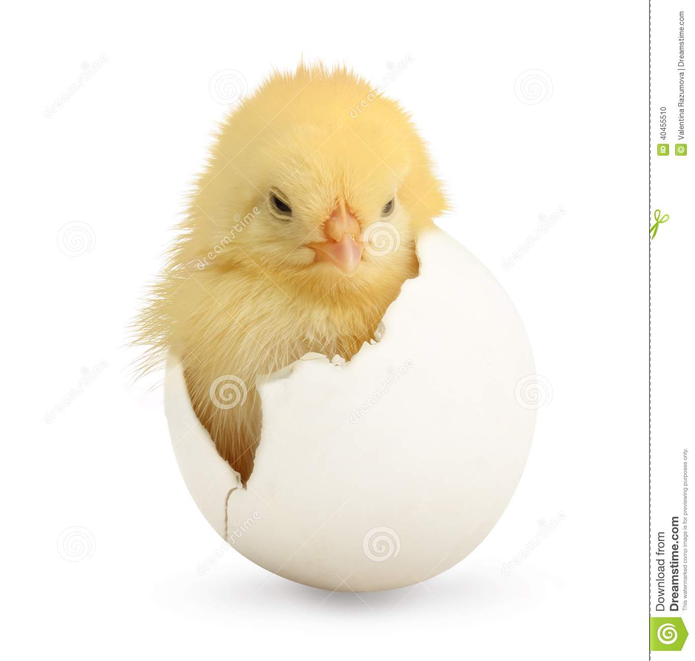 cute little chicken coming out of a white egg stock photo image of