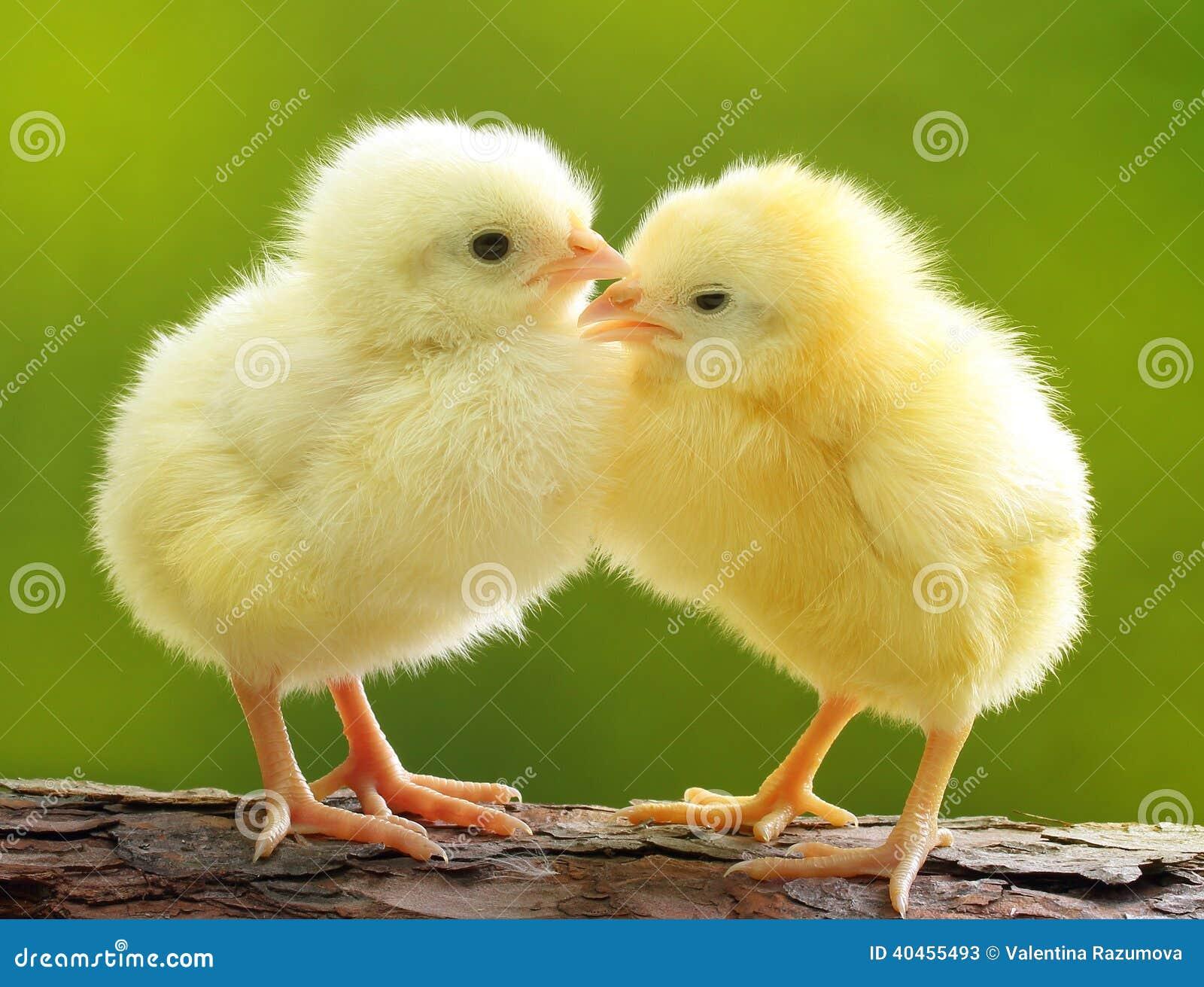 Cute little chicken over green natural background.