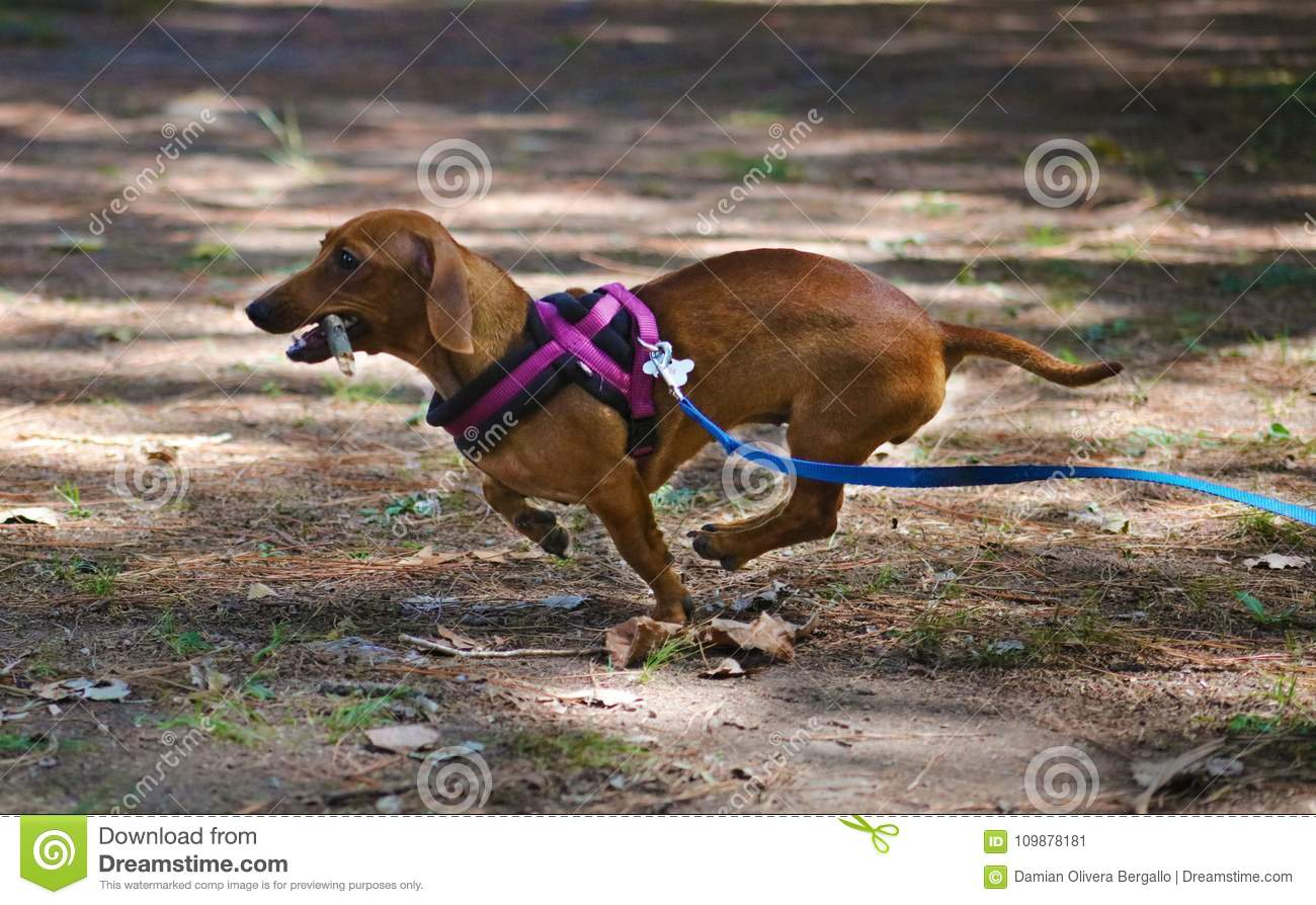 Cute little Dachshund wiener dog beautiful puppy