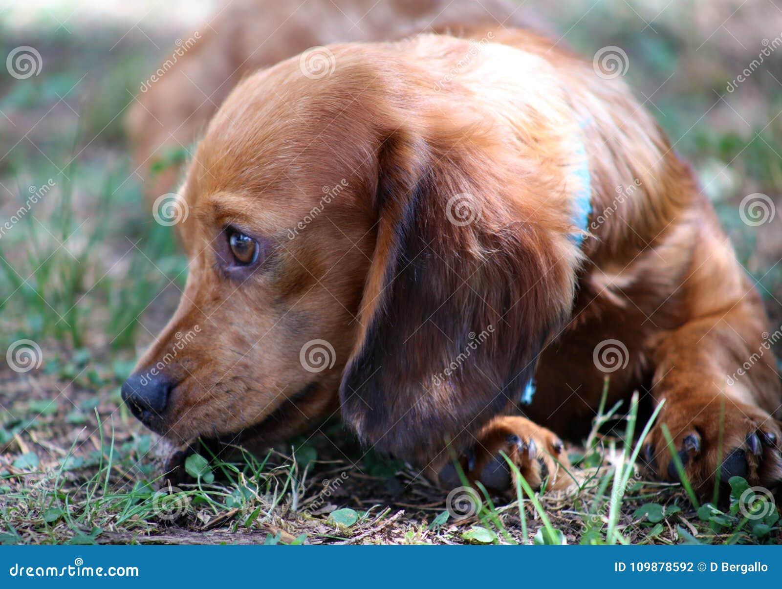 Cute little Dachshund wiener dog beautiful puppy