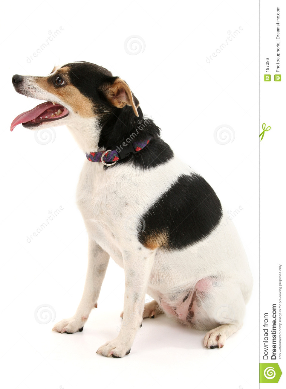 Cute Little Dog Sitting With Mouth Open Stock Photo