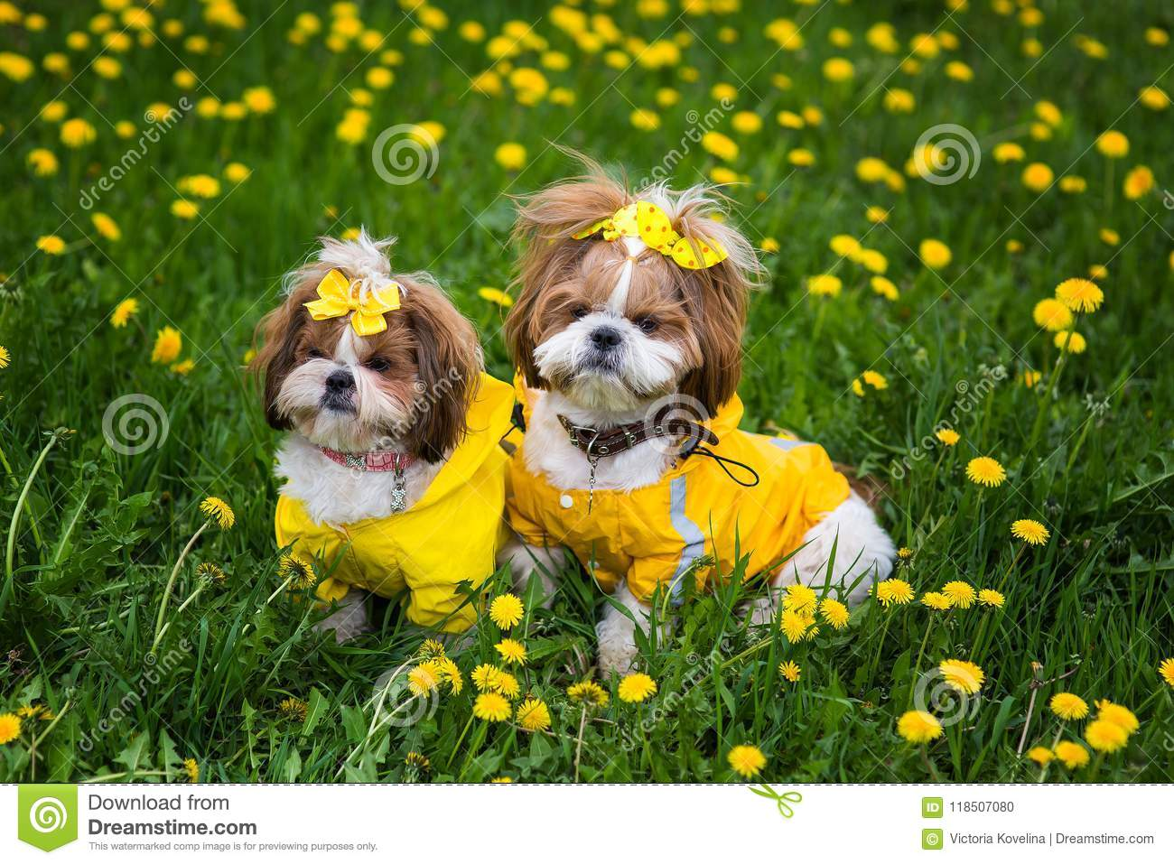 Cute Little Dog Sitting Among Yellow Flowers In Yellow Overalls With