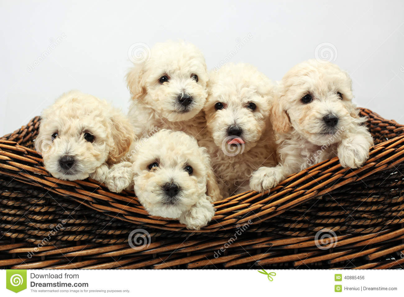 how to tell how many puppies a dog will have