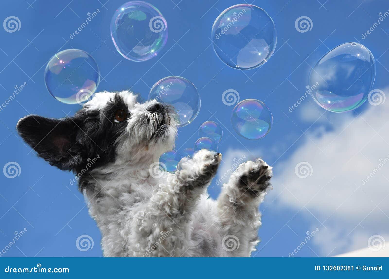 Cute little dog tries to catch soap bubbles
