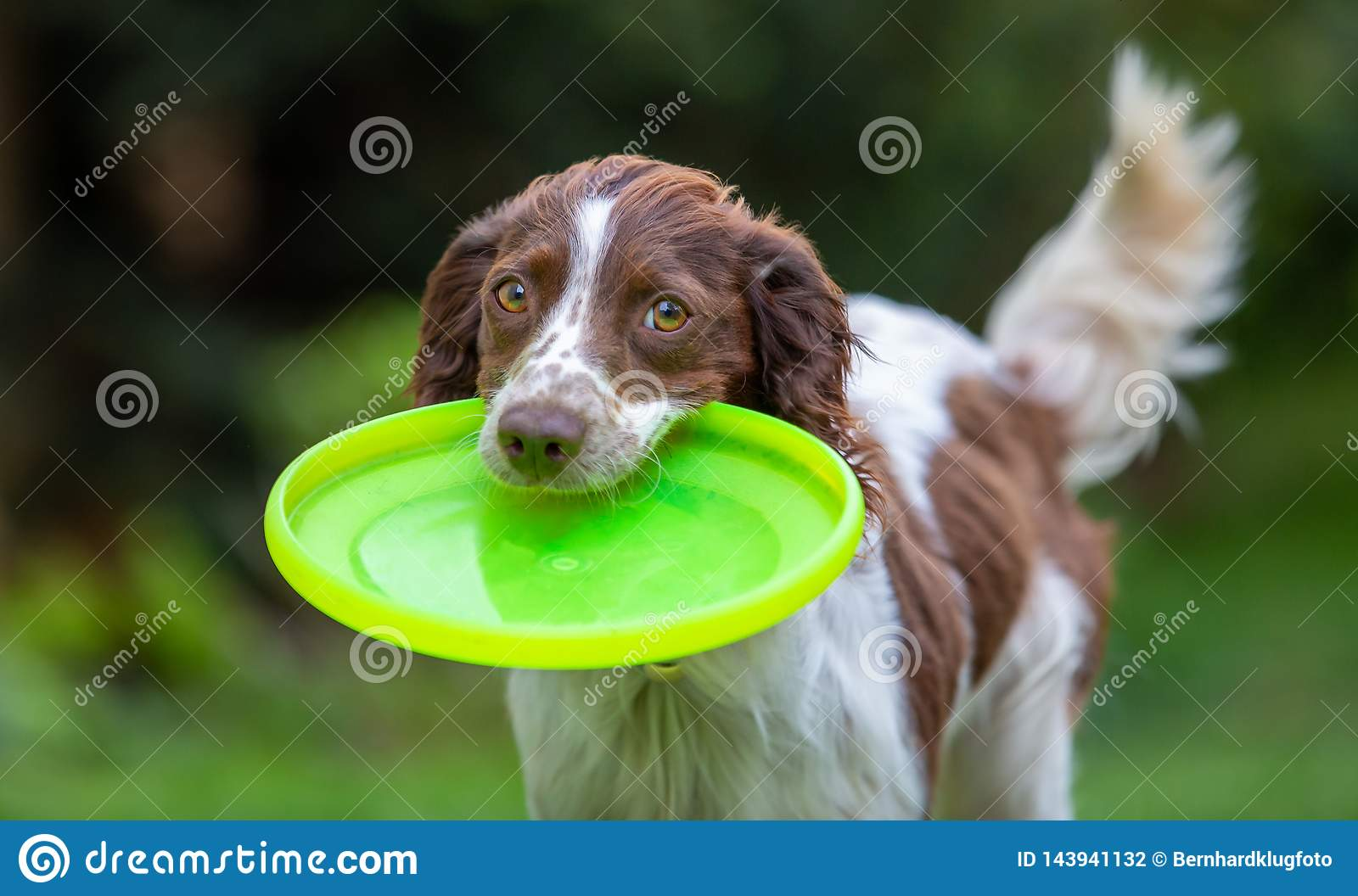 Cute little English Springer Spaniel with wagging tail fetching a yellow flying disc