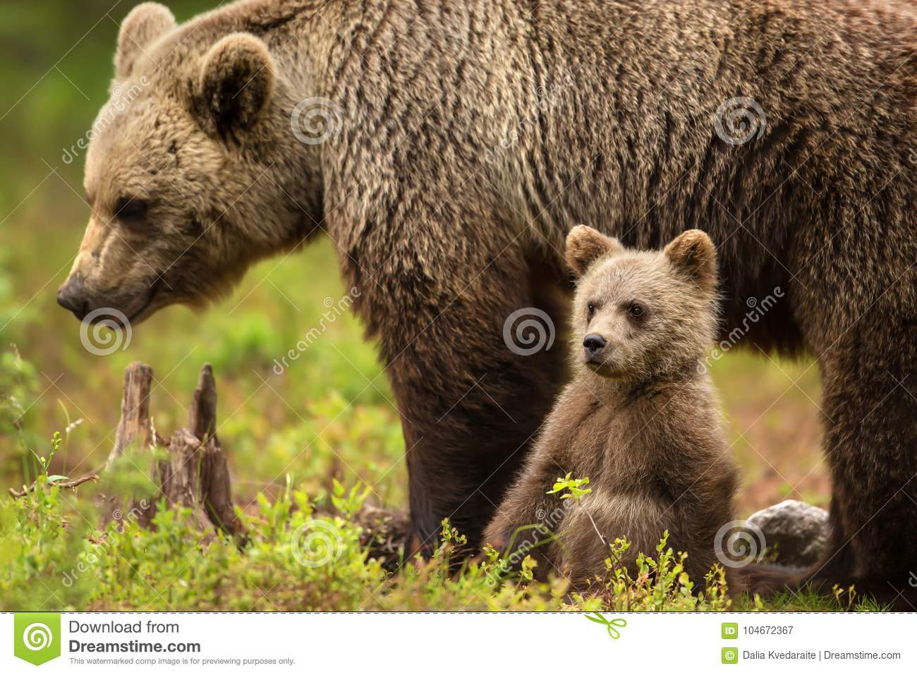 Eurasian brown bear mother with her cub