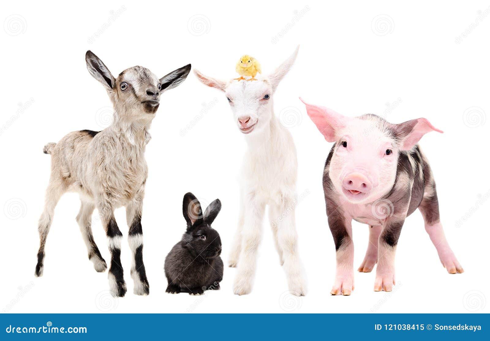 Cute little farm animals