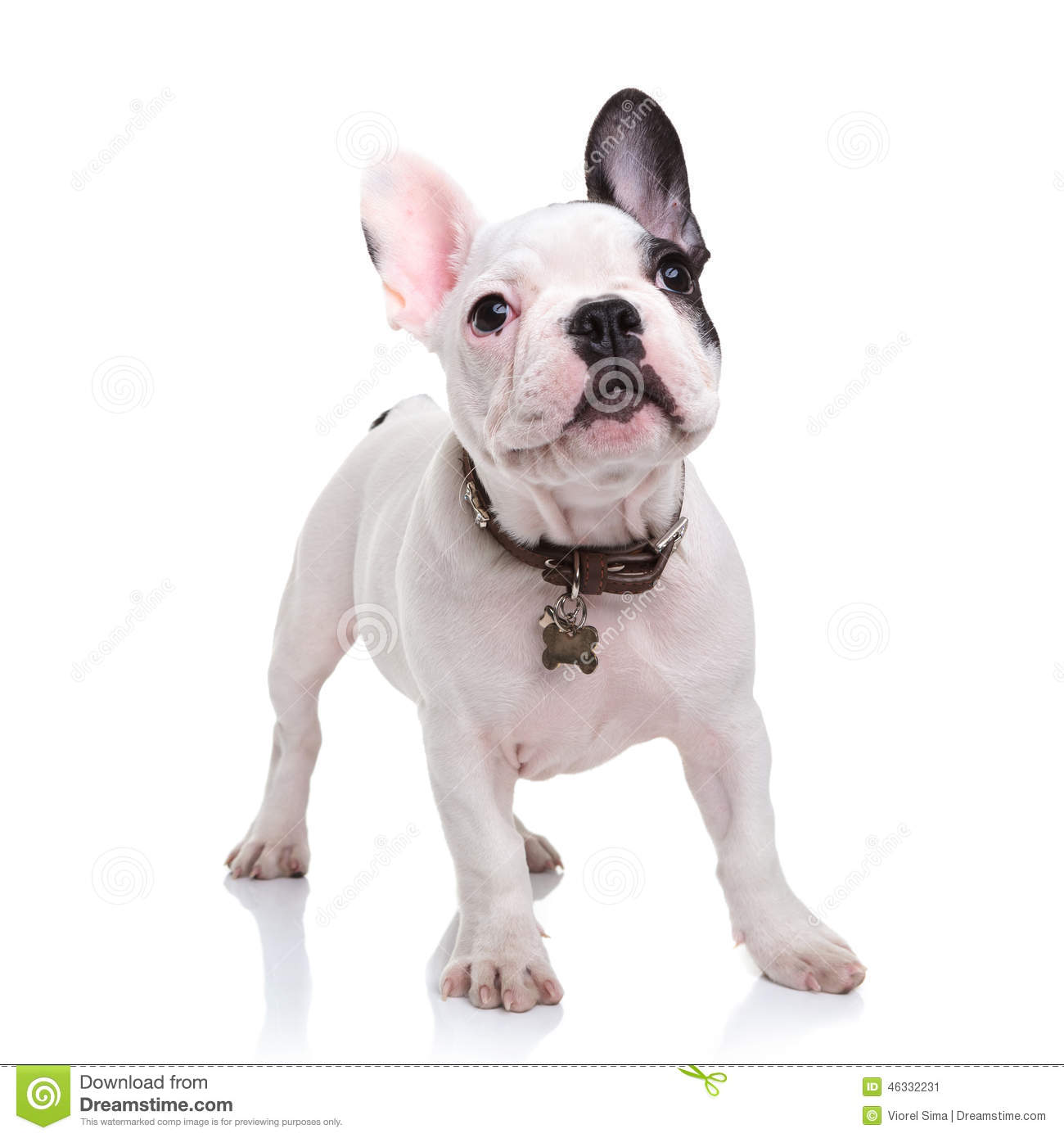 Cute Little French Bulldog Puppy Standing On White
