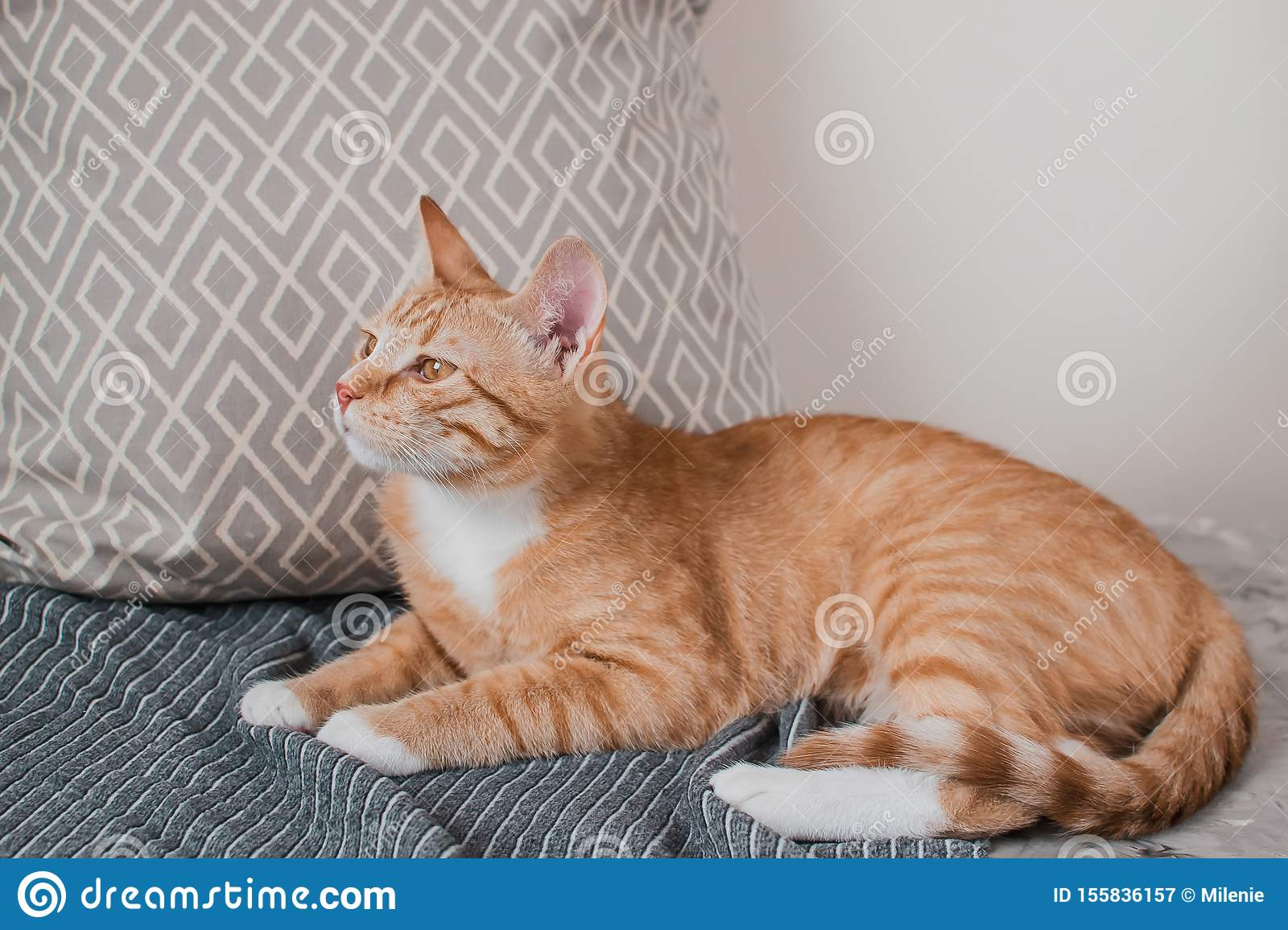 Cute little ginger cat laying in gray blanket at home