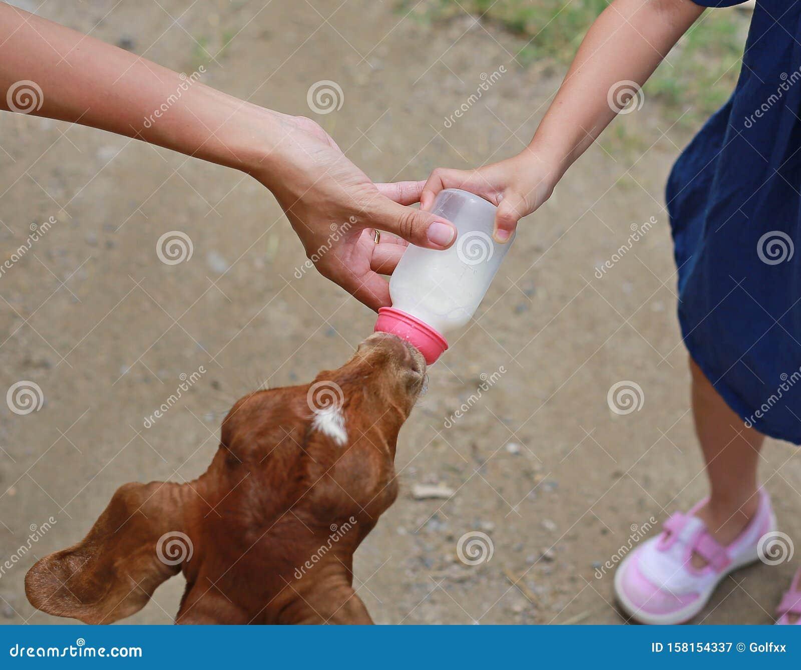 Cute little girl feeding sheeps