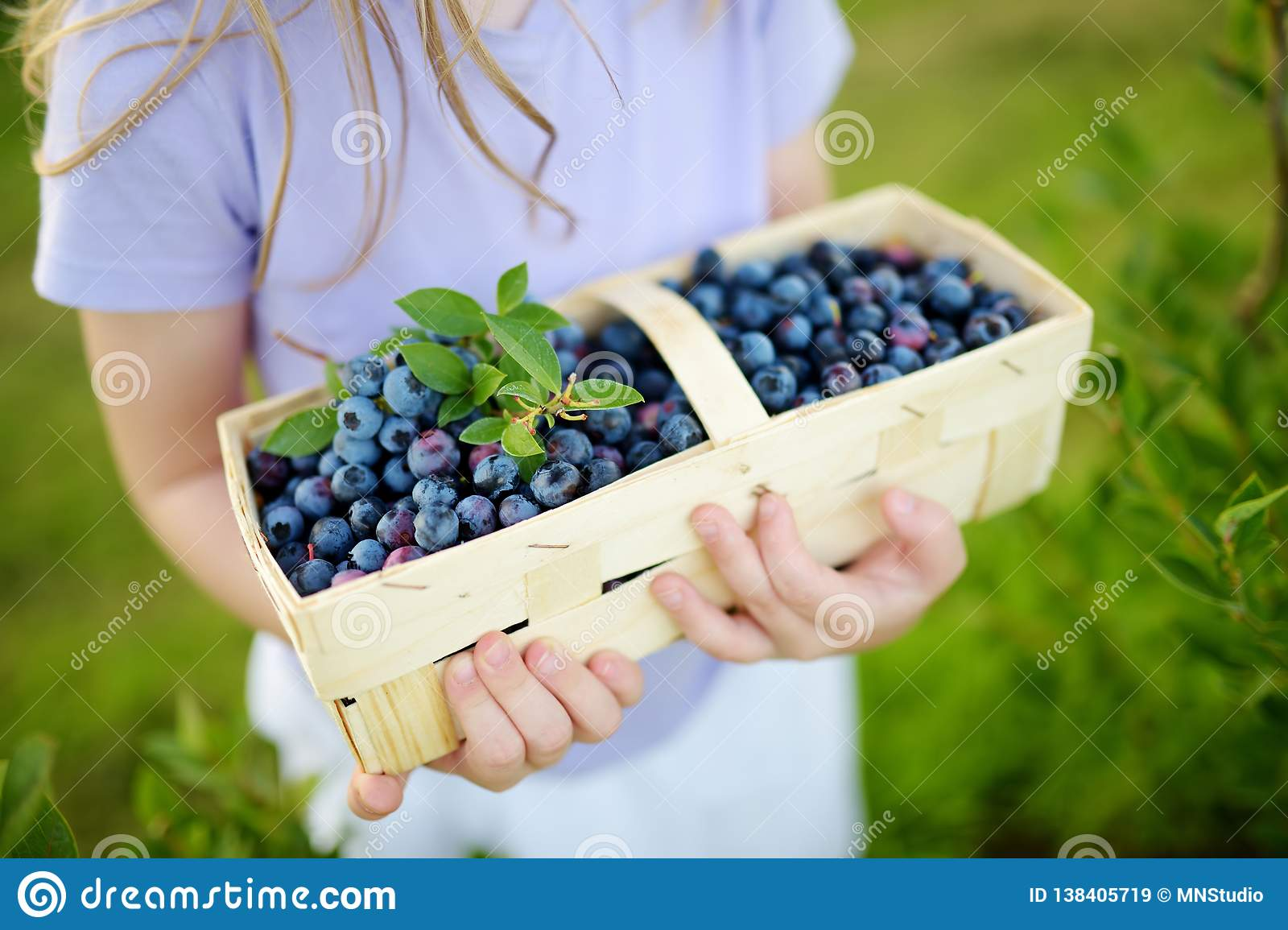 Cute little girl picking fresh berries on organic blueberry farm on warm and sunny summer day. Fresh healthy organic food for