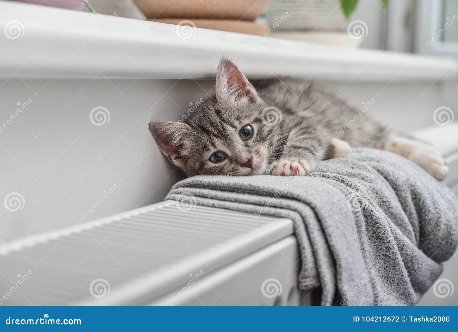 Cute little grey kitten