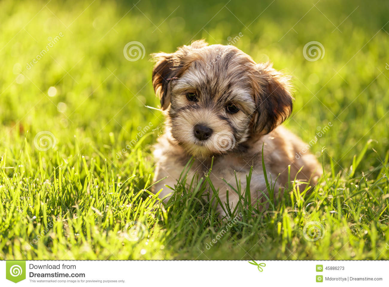 Cute Little Havanese Puppy Dog Is Sitting In The Grass