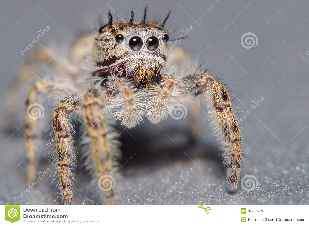 Cute little jumping spider on a silver surface and background.