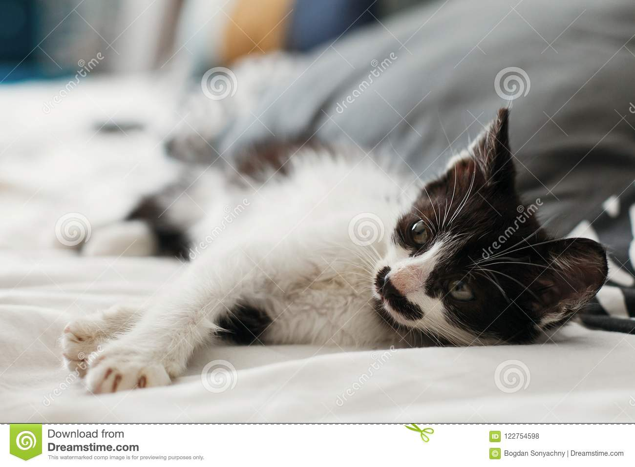 cute little kitty with amazing eyes sleeping on pillows in morning light. adorable black and white kitten with funny emotions