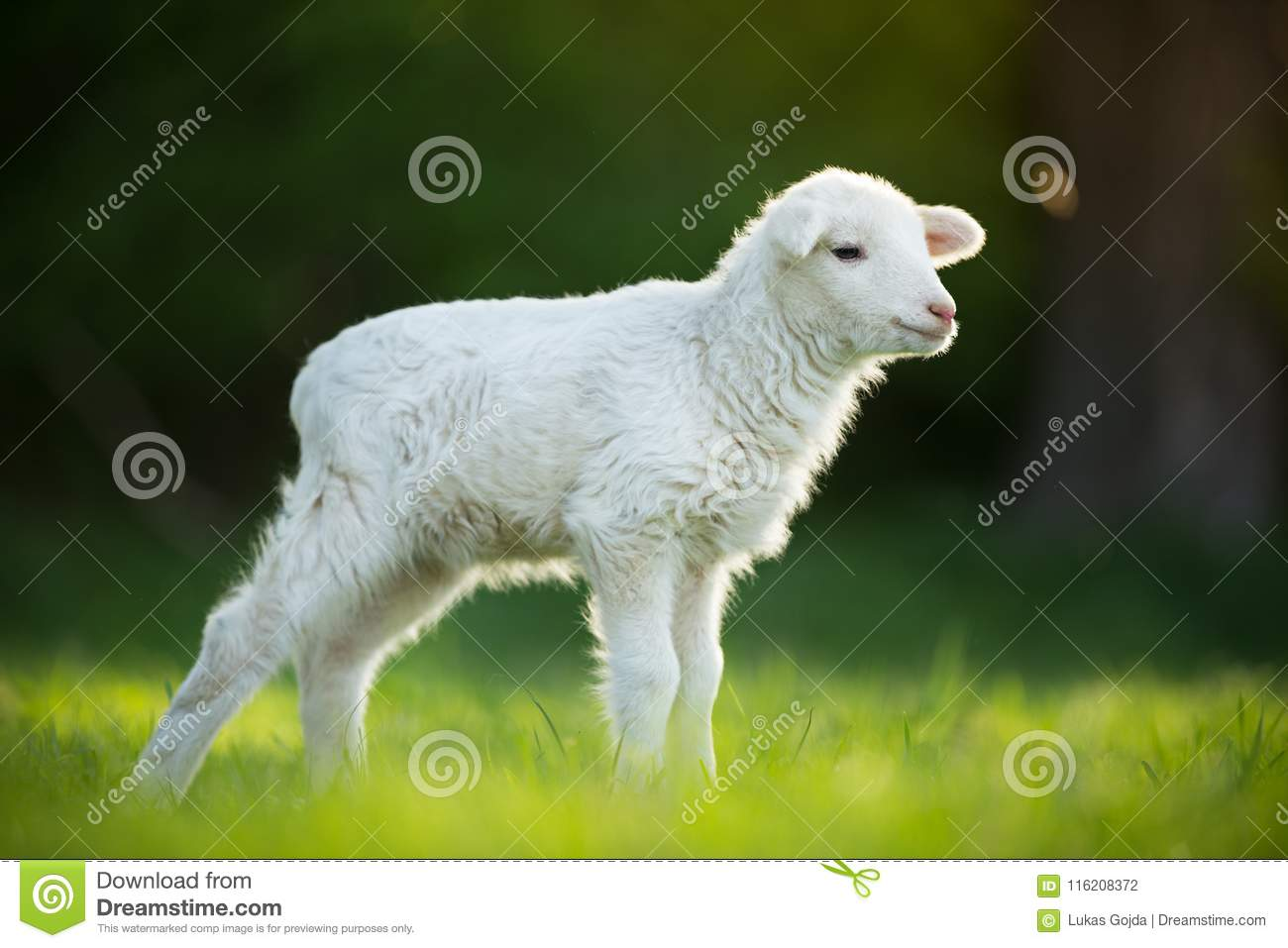 Download Cute Little Lamb On Fresh Green Meadow Stock Photo - Image of blue, animal: 116208372