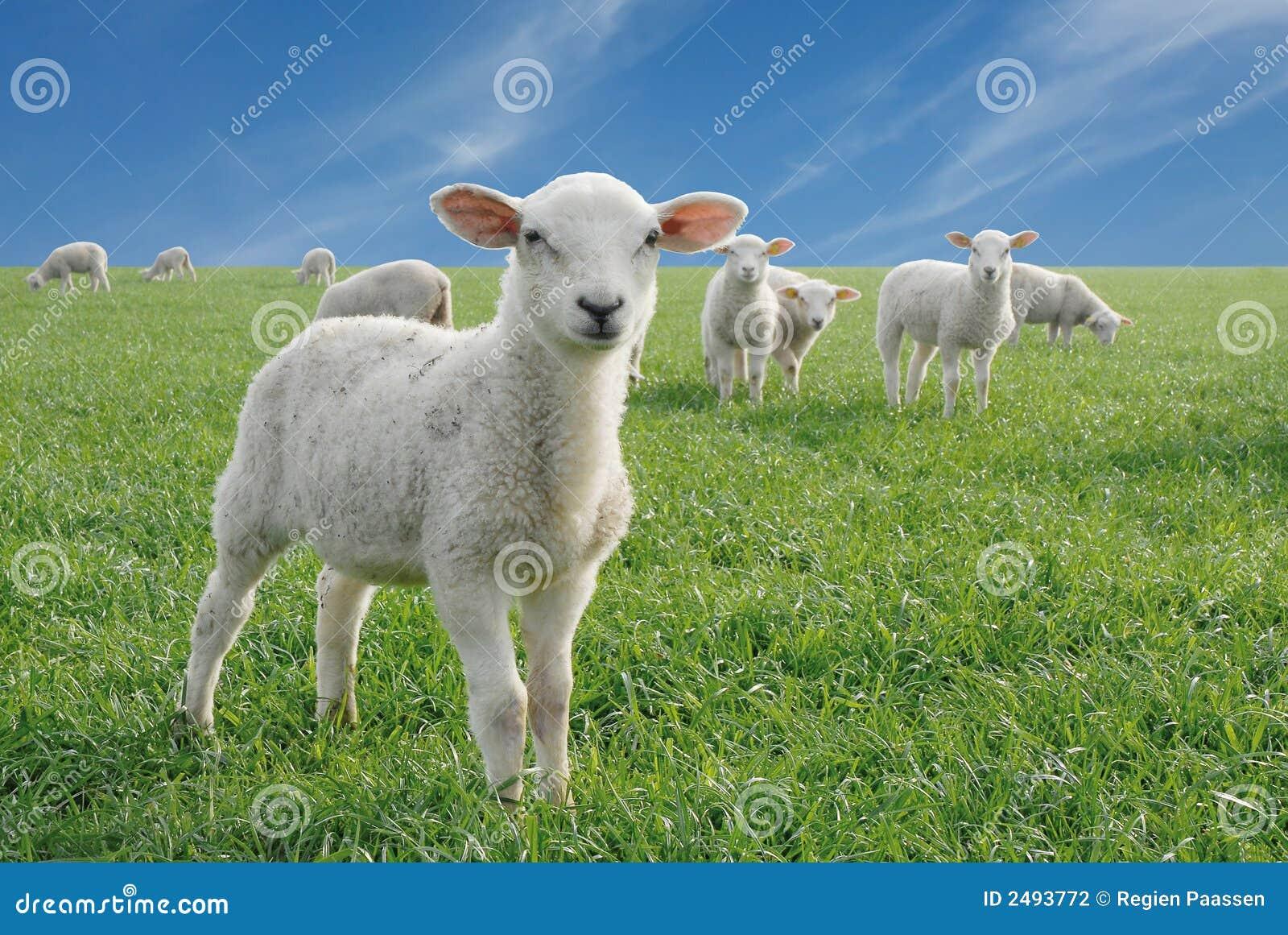Cute little lambs