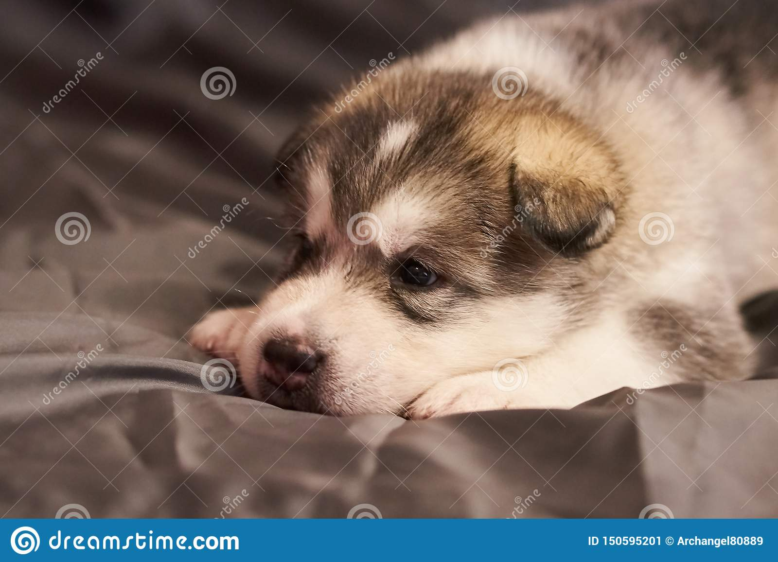 Cute little Malamute puppy lying with his head on his paws on a gray background