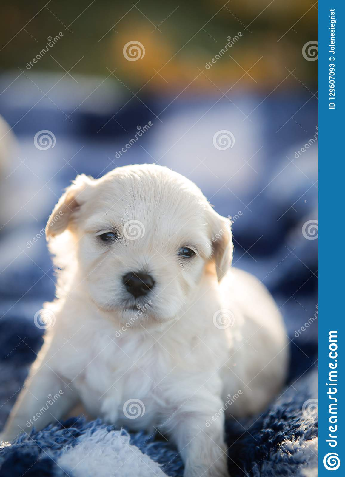 Cute little puppy sitting on a blue and white blanket