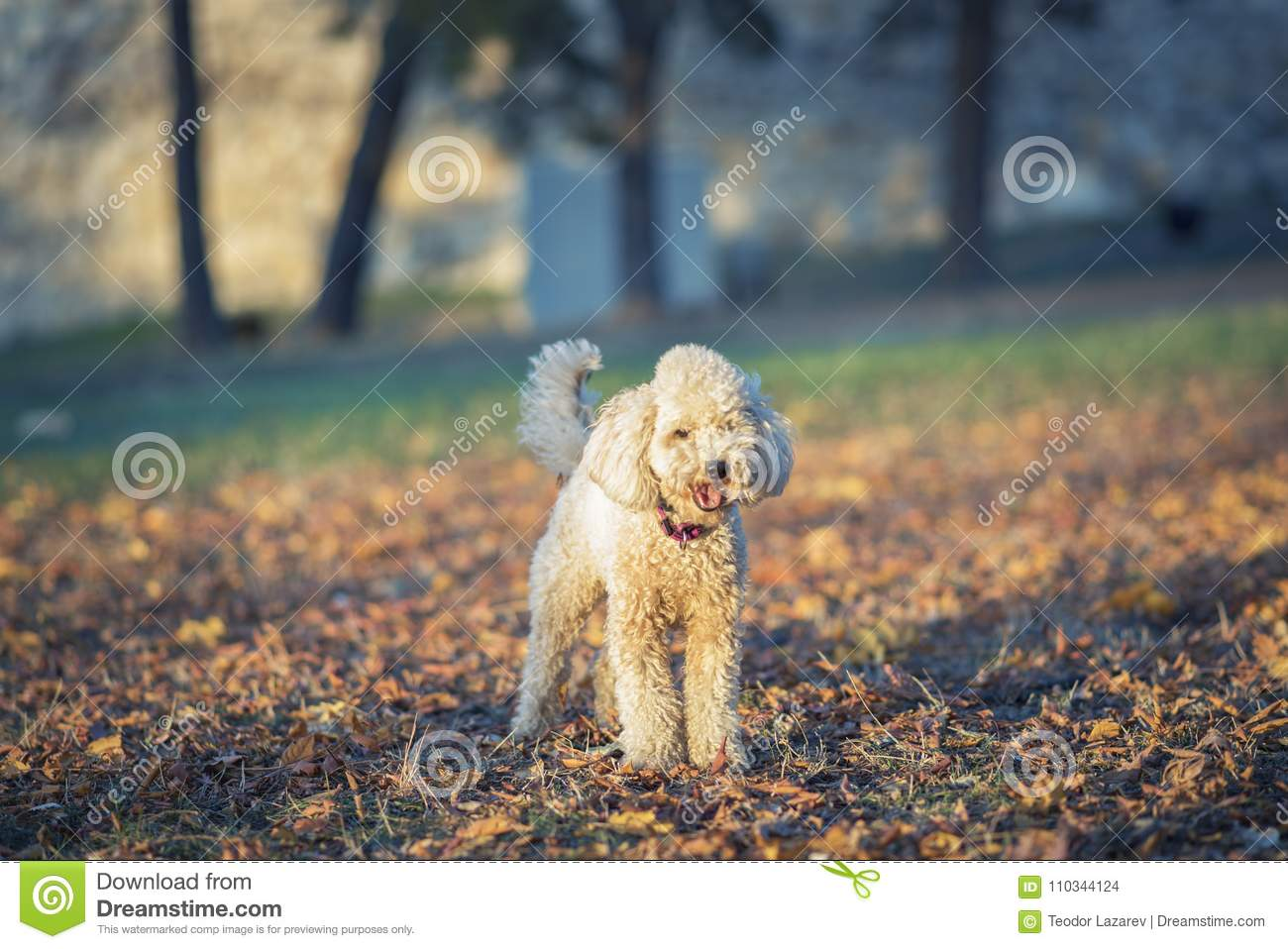 One cute miniature poodle, sunset in a park