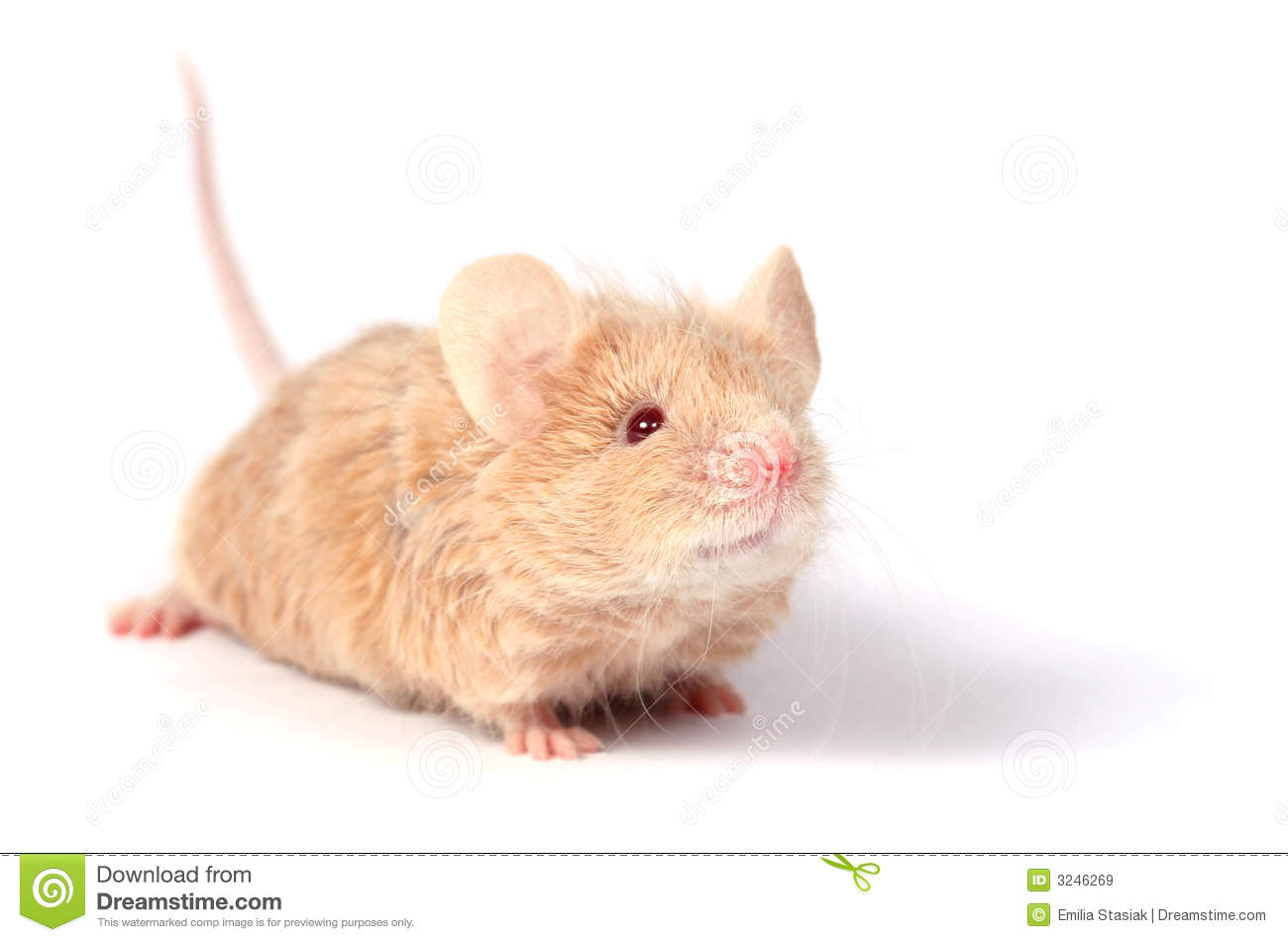 Cute Little Mouse Royalty Free Stock Images - Image: 3246269