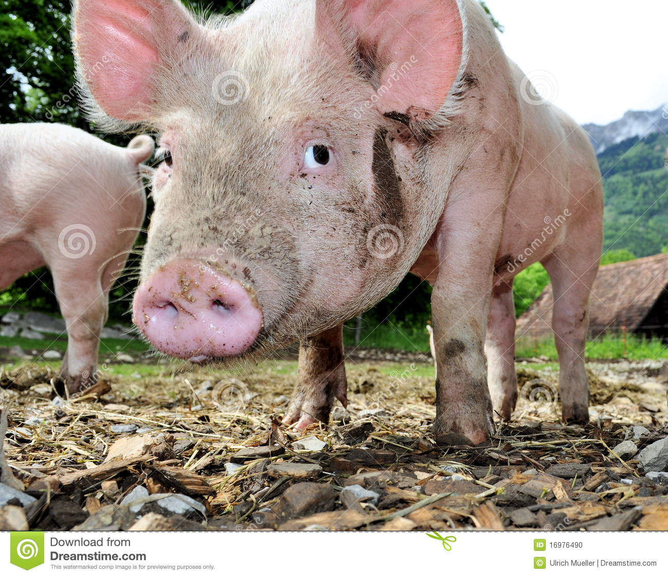 Cute Little Pig Stock Photo Image 16976490