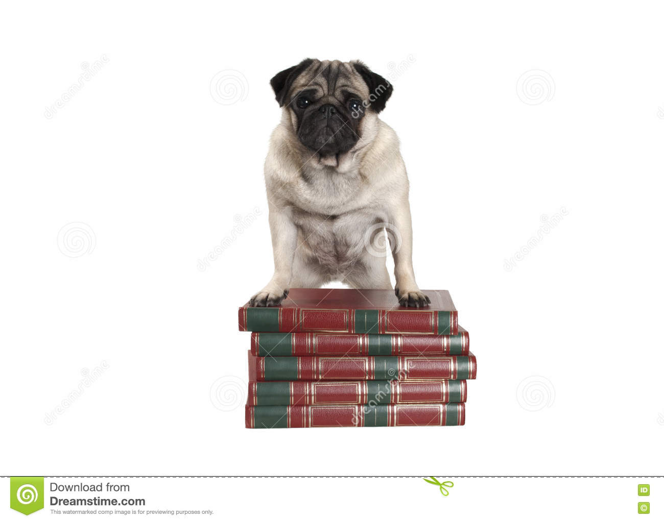 Cute little pug dog standing on books with front legs