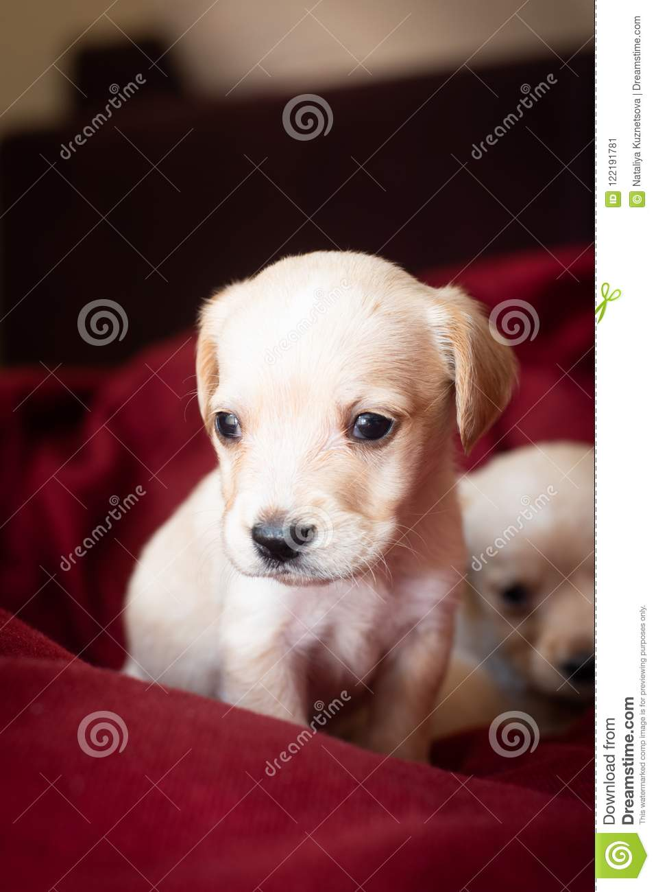 Cute Little Puppies Stock Image Image Of Small Portrait 122191781