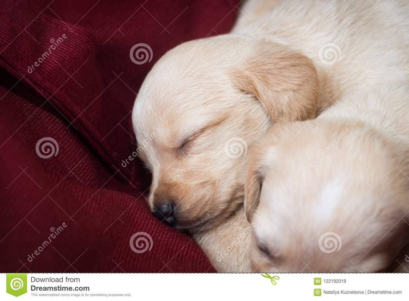 Cute Little Puppies Stock Image Image Of Litter Puppy 122192019