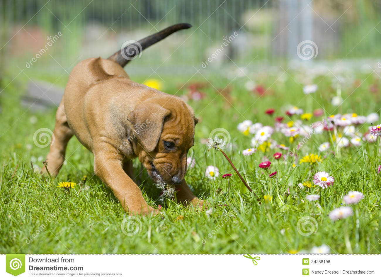 Cute Little Puppy Playing With Flowers Royalty Free Stock ... White Daisy Flowers Clipart