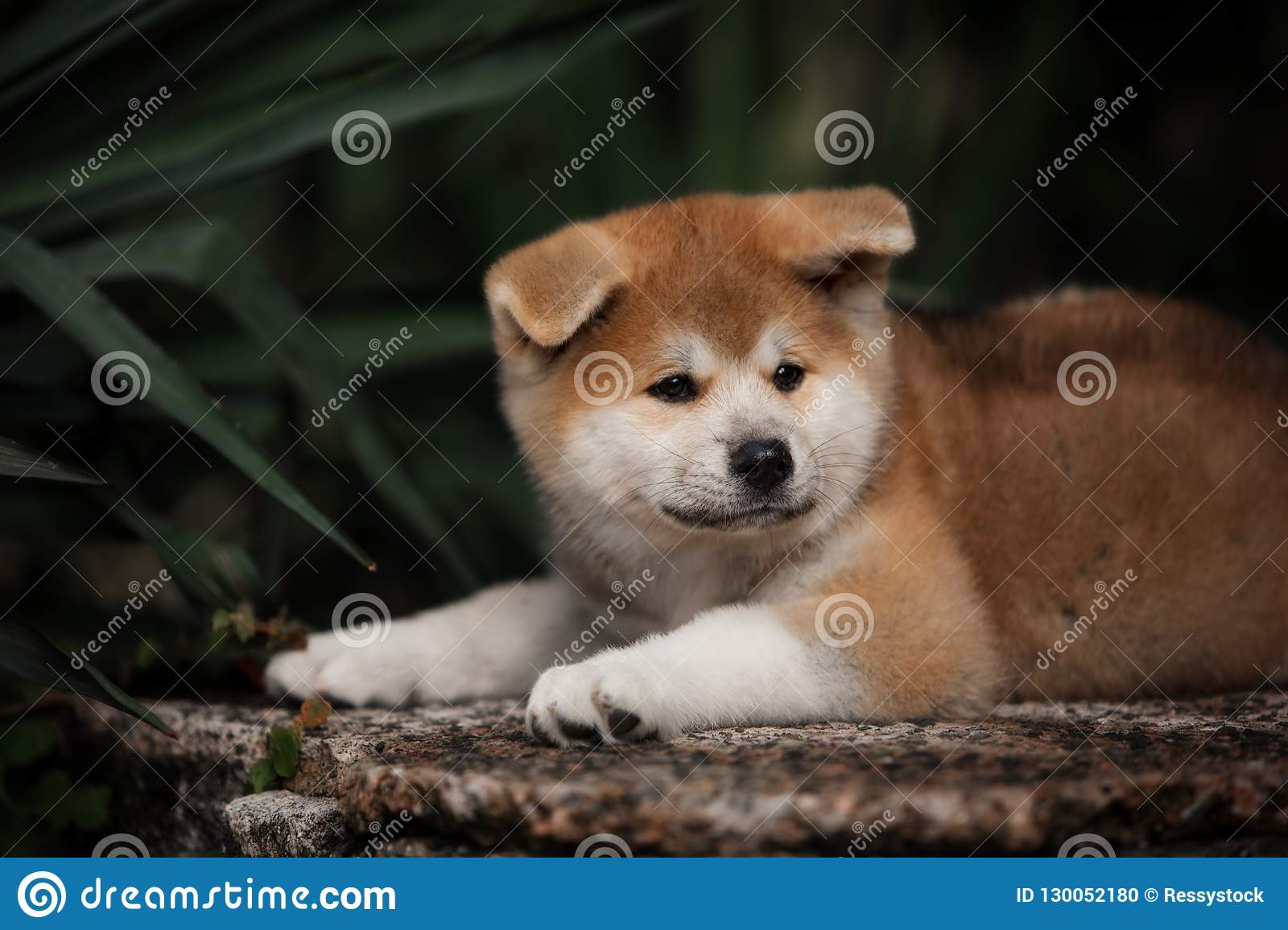 Cute little red puppy akita lie on the stone