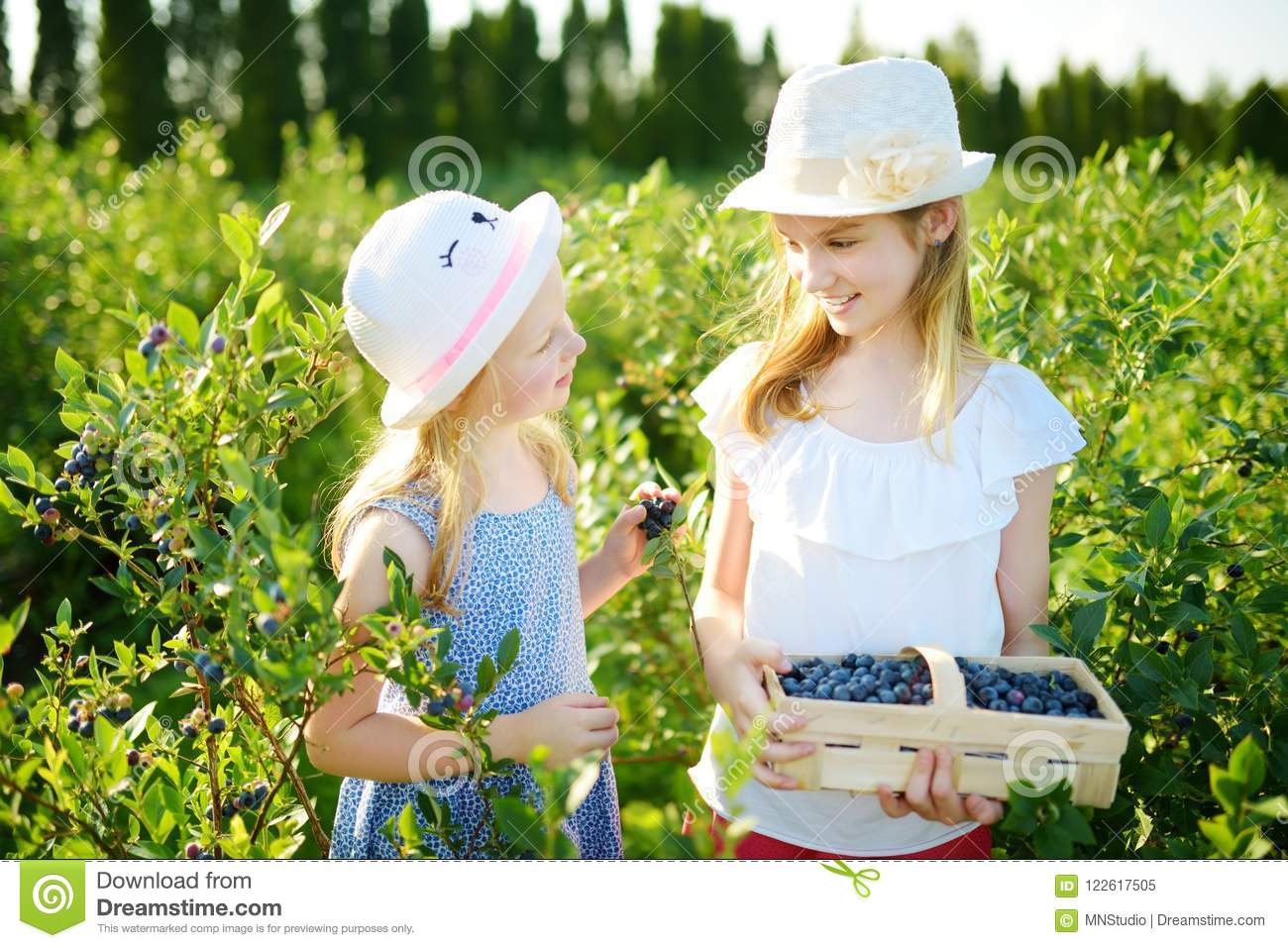Cute little sisters picking fresh berries on organic blueberry farm on warm and sunny summer day. Fresh healthy organic food for s