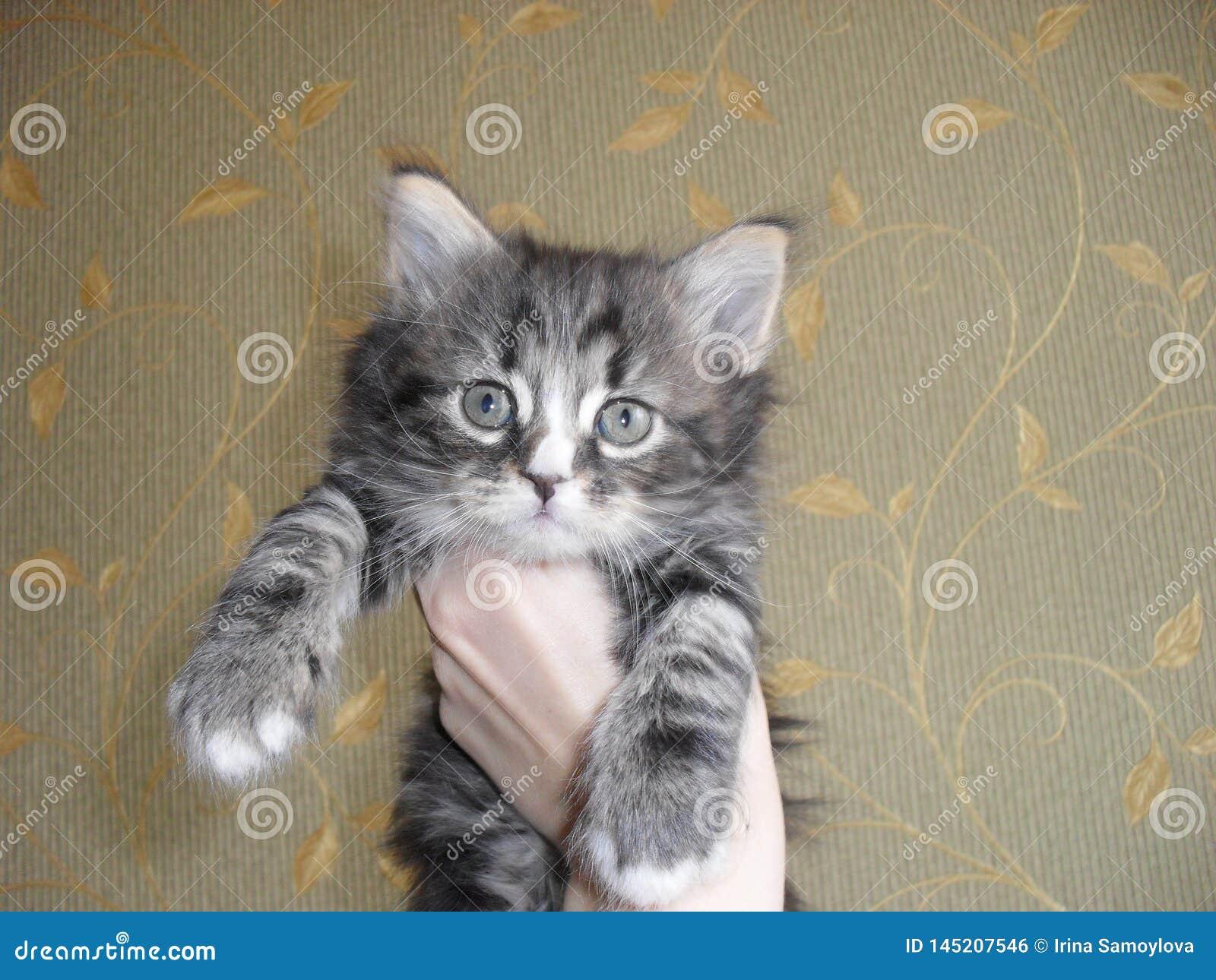 Cute little striped gray fluffy kitten adorable