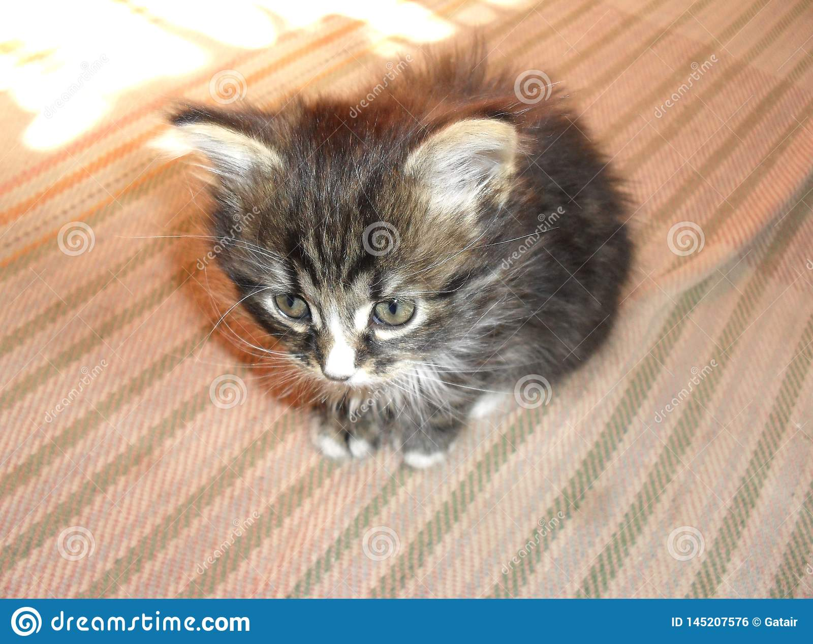 Cute little striped gray fluffy kitten adorable