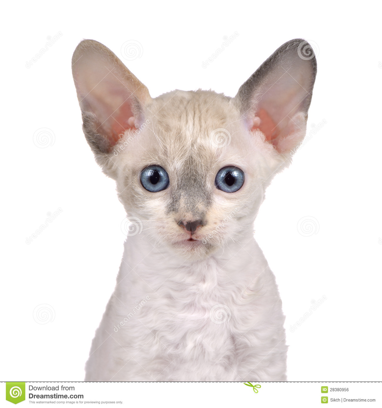 Cornish Rex Kittens Best Cat And Kitten Image And HD 2017
