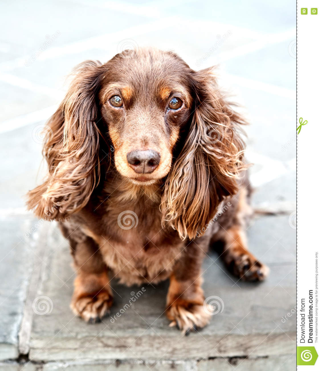 Cute Long Haired Dachshund stock photo. Image of background - 12