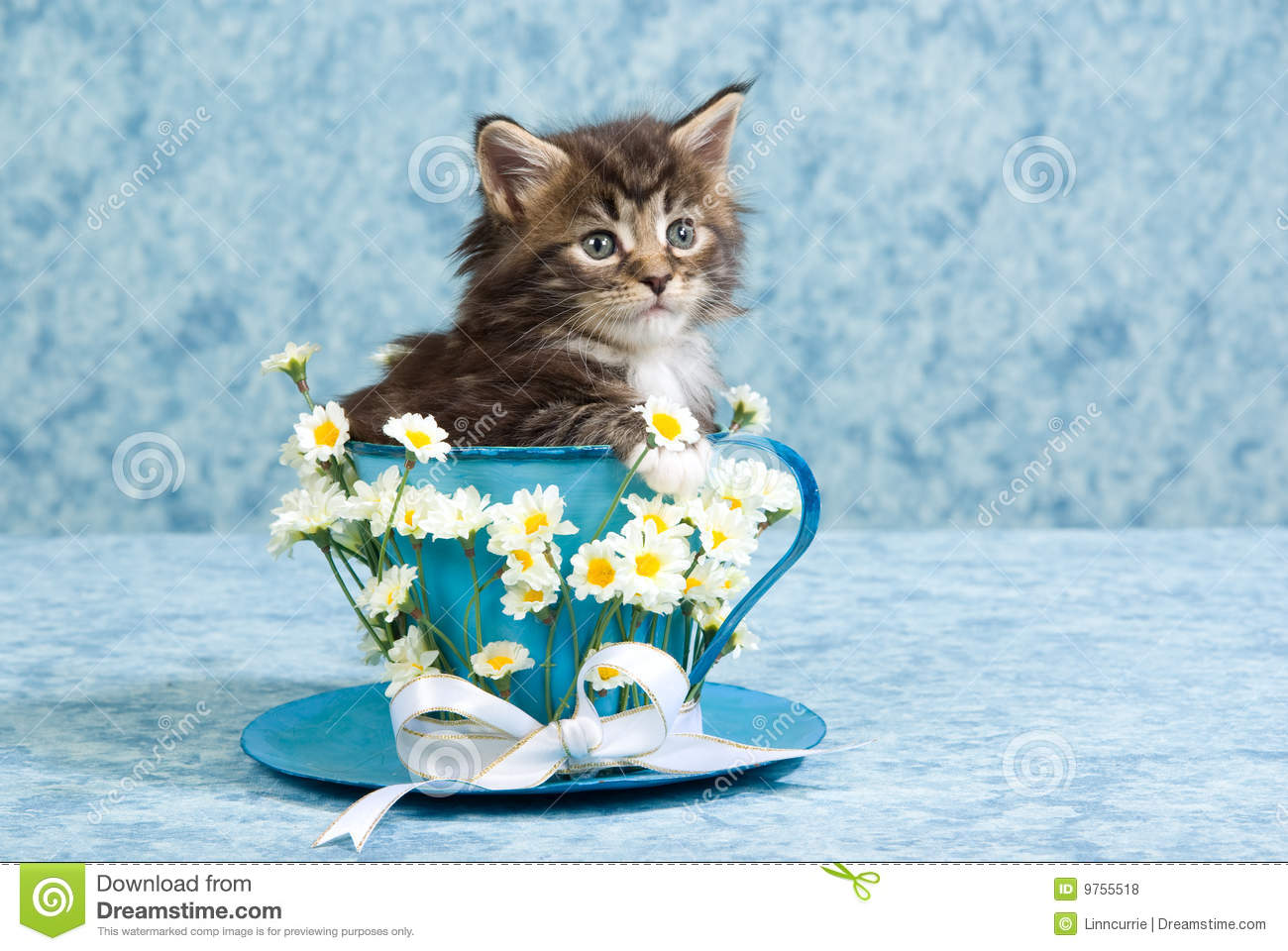 cute maine coon kitten in large tea cup royalty free stock