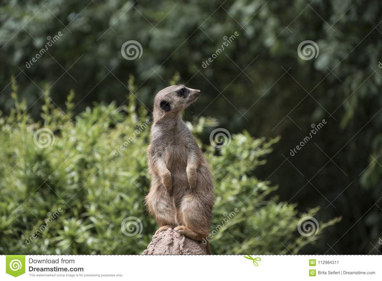 Cute Meerkat Suricata Suricatta on stone guards