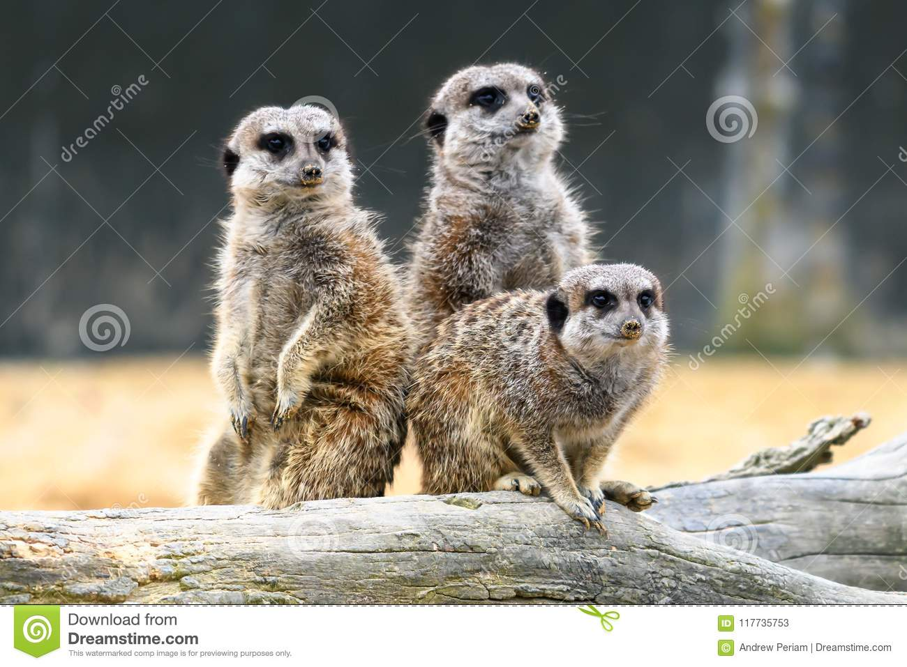 Isolated Meerkats Stock Images Download 129 Royalty Free Photos