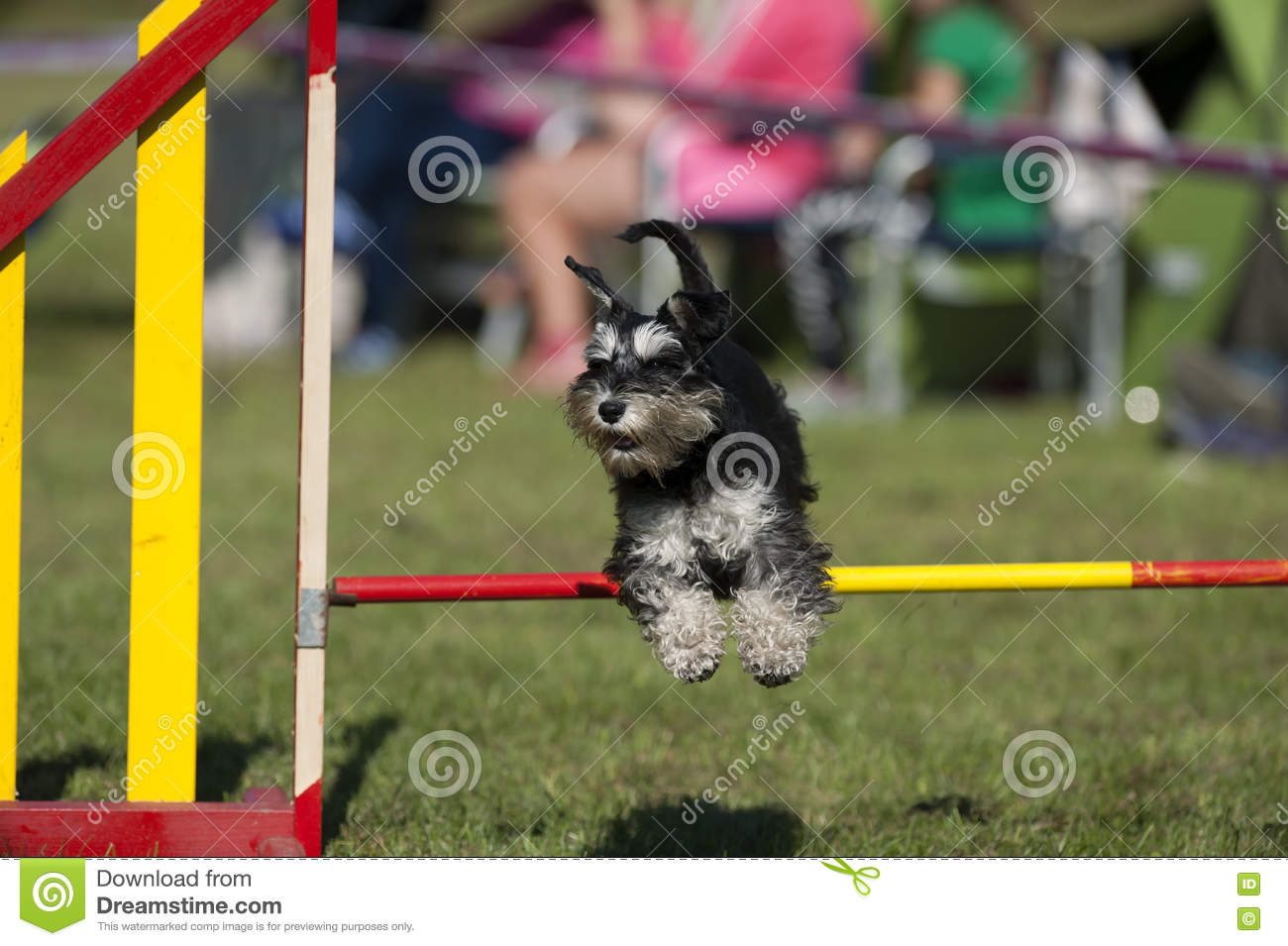 Cute Miniature Schnauzer jumping over agility hurdle on competition