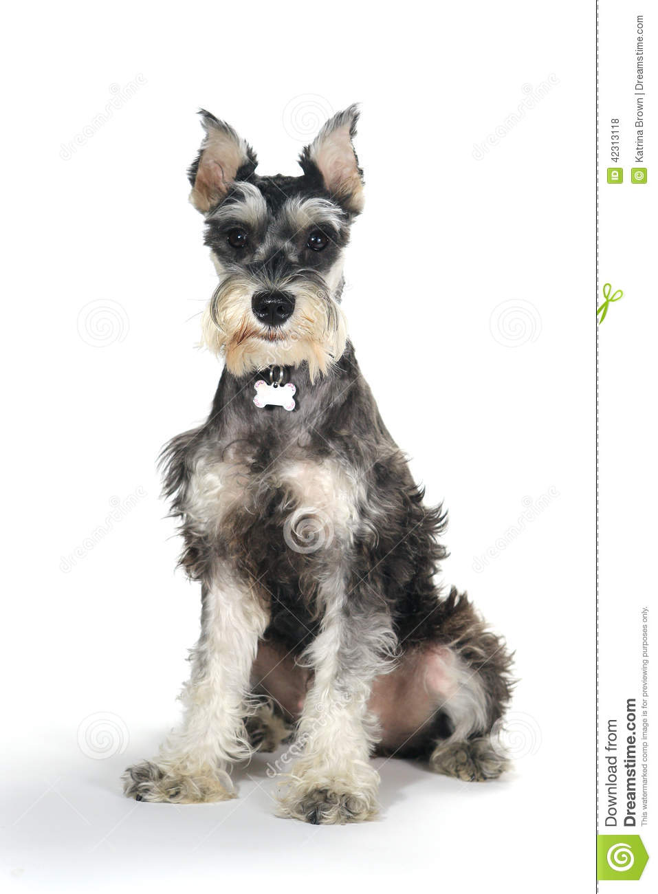 Cute Miniature Schnauzer Puppy Dog On White Background Stock Photo