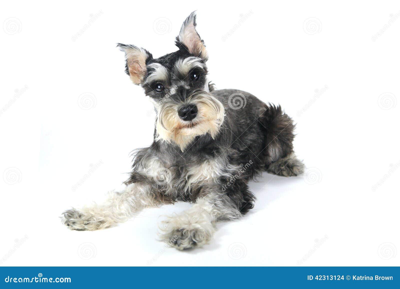 Cute Miniature Schnauzer Puppy Dog on White Background