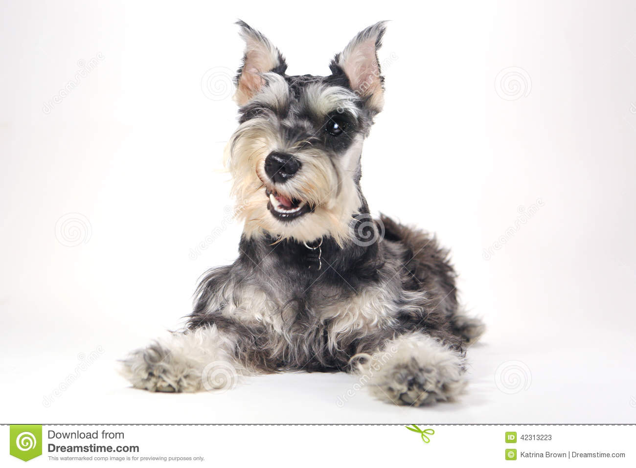 Cute Miniature Schnauzer Puppy Dog On White Background Stock Photo ...