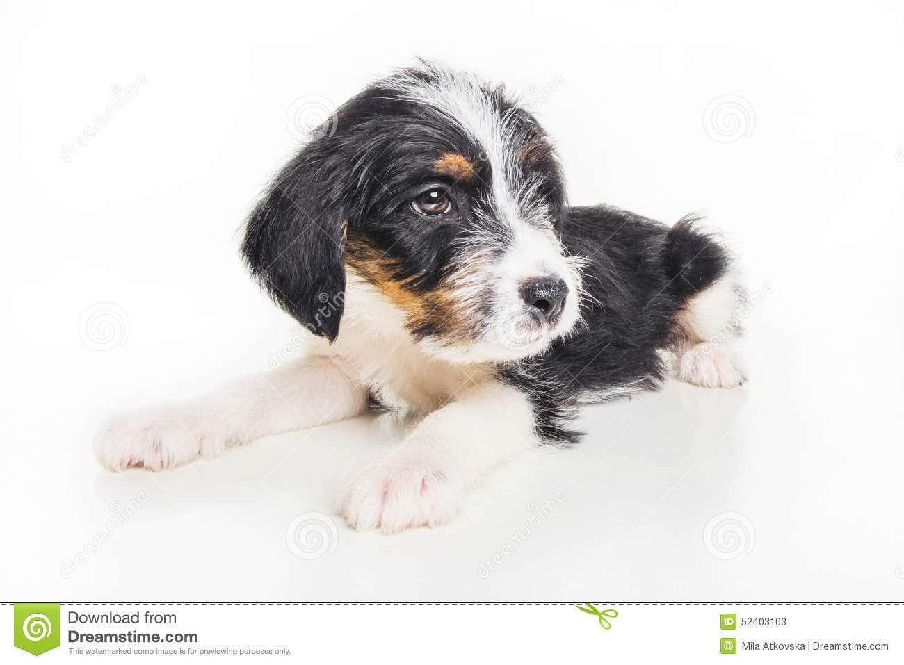 Cute 1 Month Old Wire Haired Jack Russell Mix Puppy Stock Image