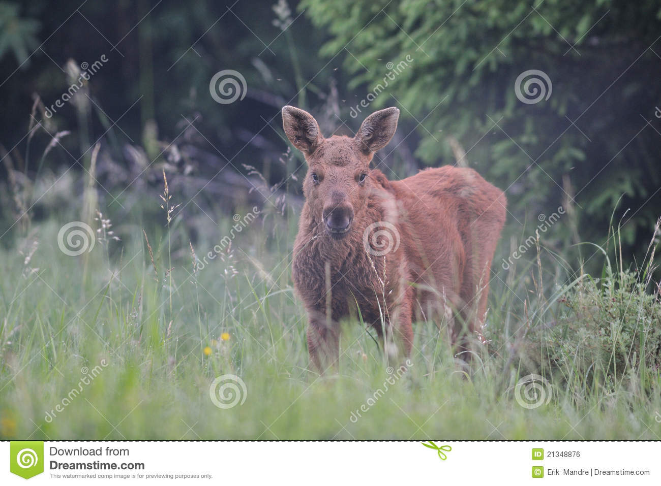 Cute moose calf - photo#6