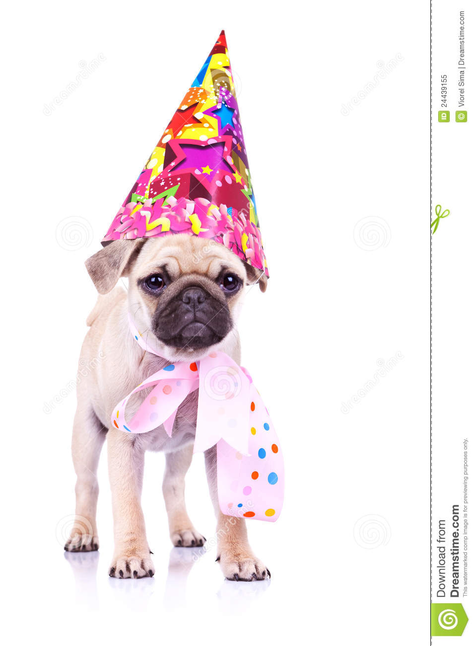 Cute Mops Puppy Dog Ready For Party Royalty Free Stock